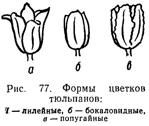 Формы цветков тюльпана