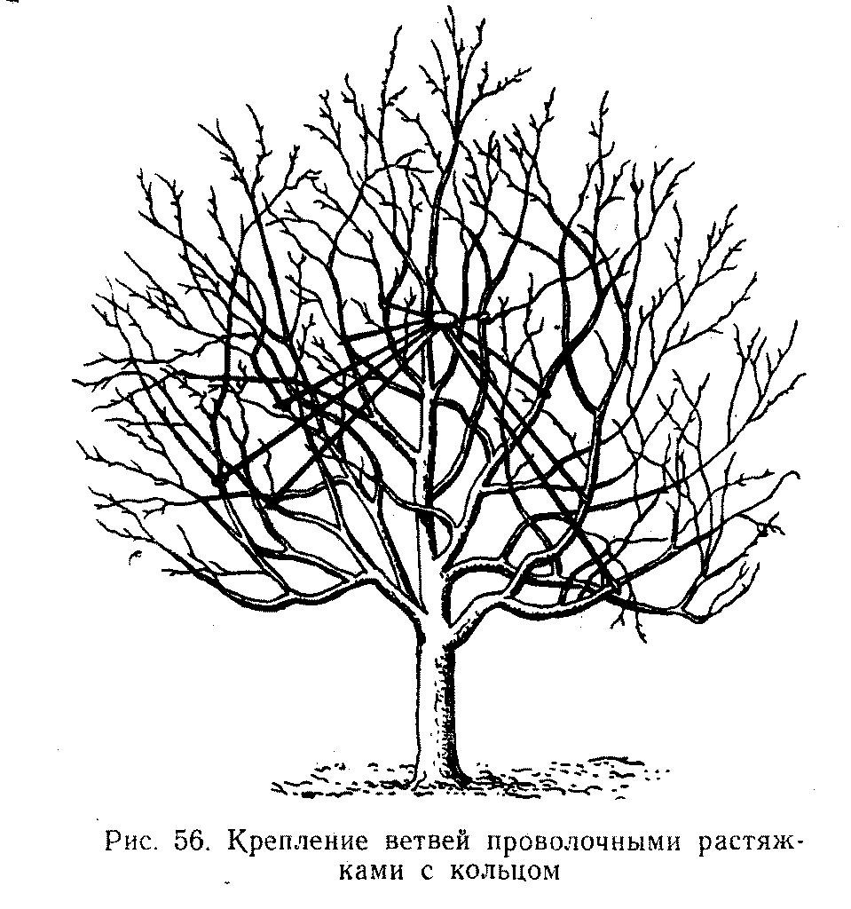 Крепление ветвей проволочными растяжками с кольцом