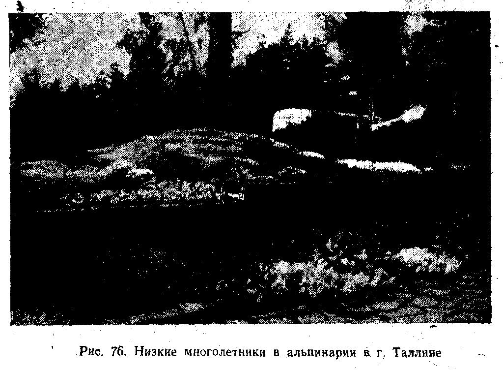 Низкие многолетники в альпинарии в г. Таллине