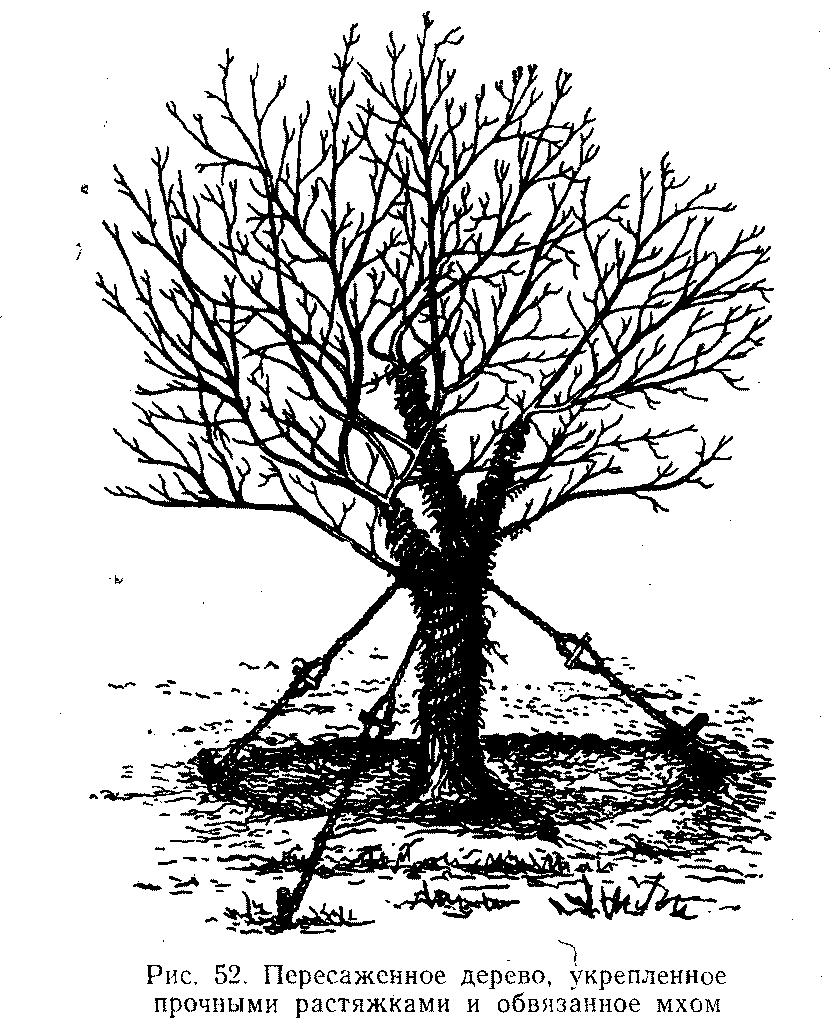 Пересаженное дерево, укрепленное растяжками и обвязанное мхом