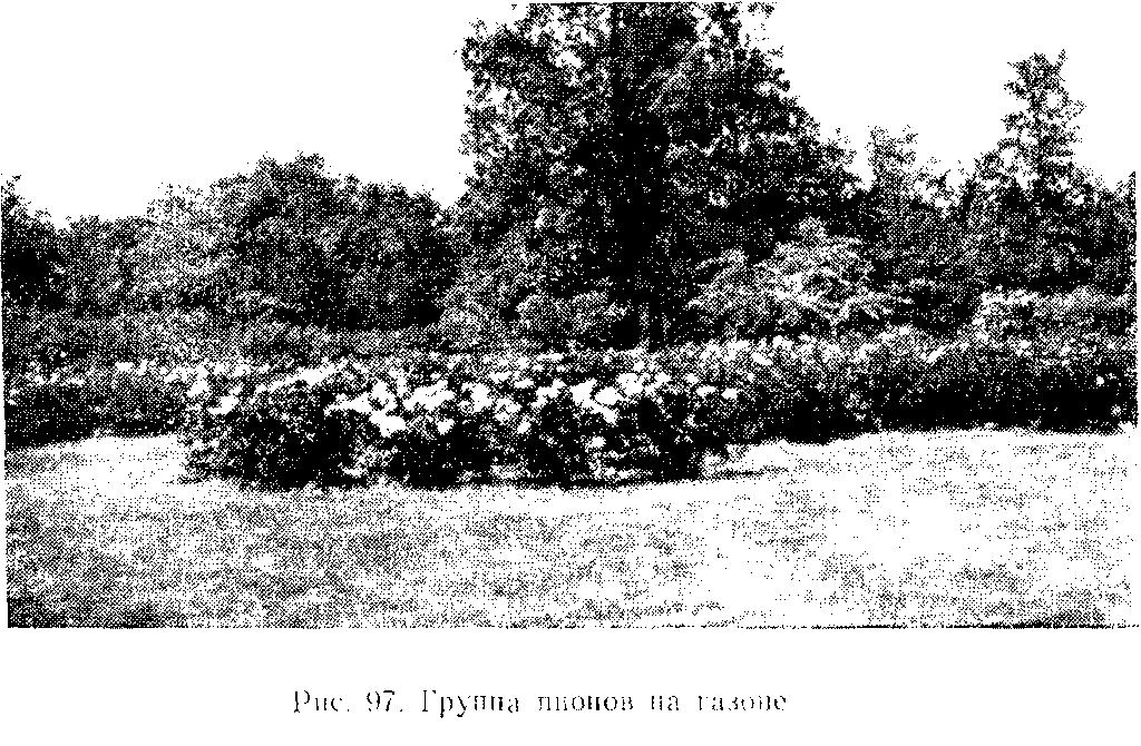 Группа пионов на газоне