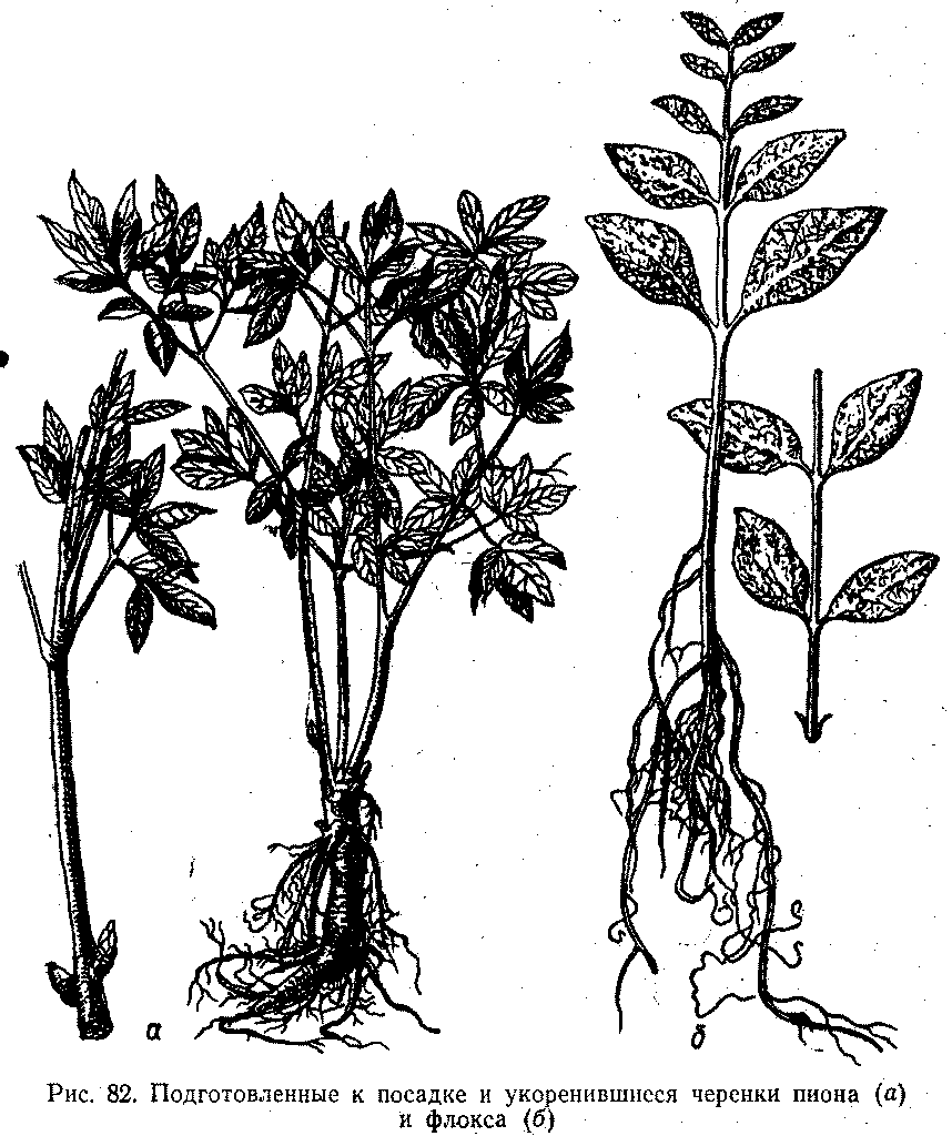 Укоренившиеся черенки пиона и флокса