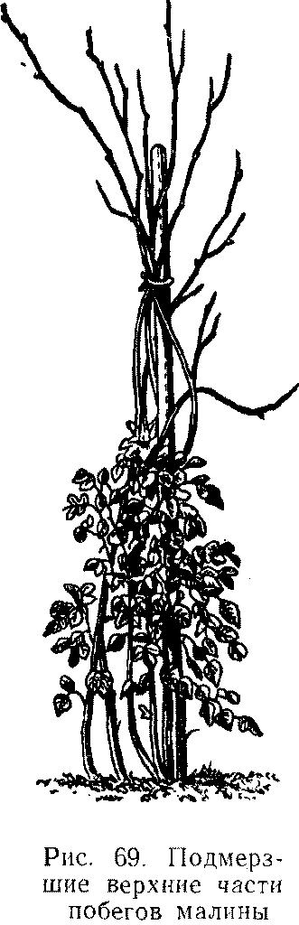 Подмерзшие верхние части побегов малины