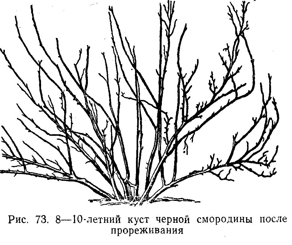 8-10 летний куст черной смородины после прореживания
