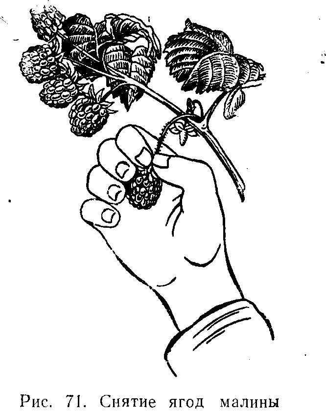 Снятие ягод малины