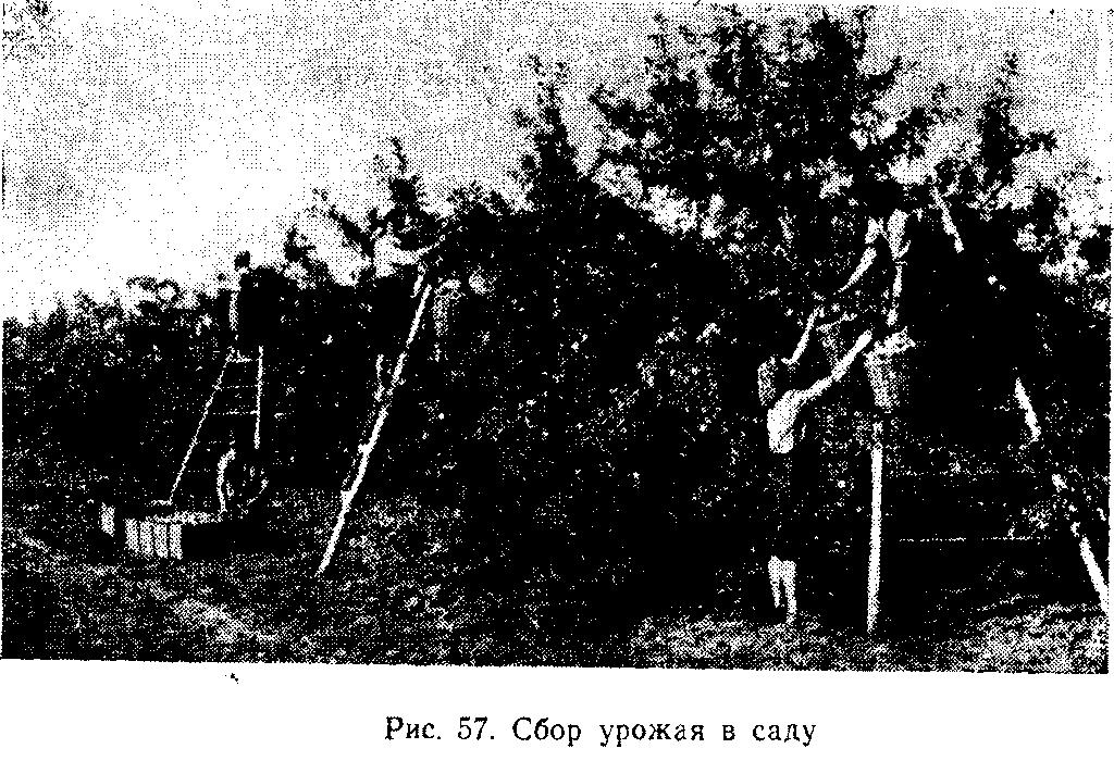 Сбор урожая в саду