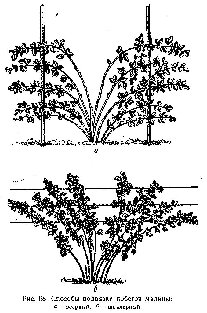 Способы подвязки побегов малины
