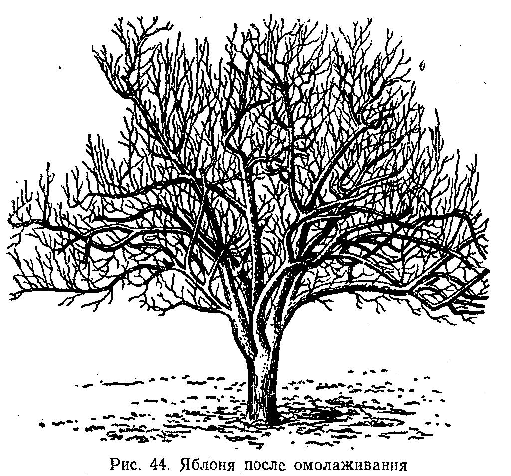 Яблоня после омоложения
