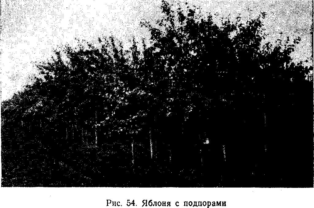 Яблоня с подпорами