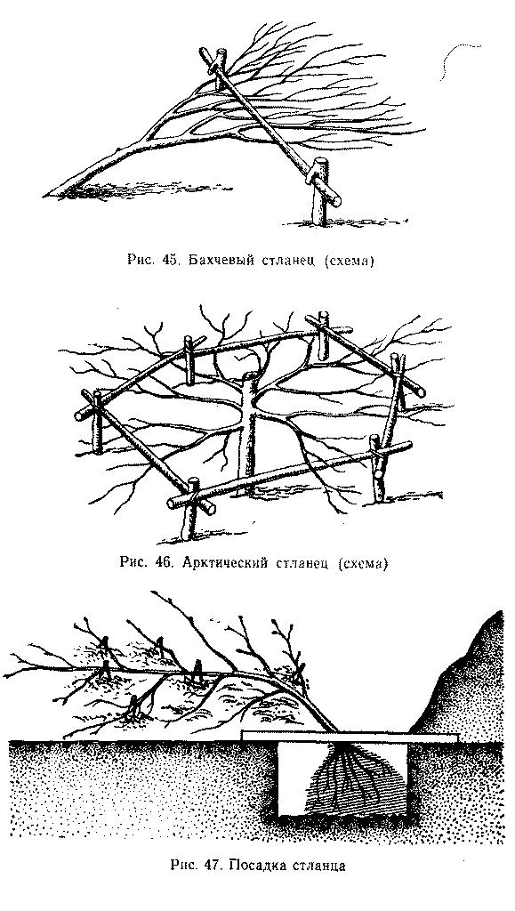 Схемы бахчевого и арктического стланца а также посадка стланца
