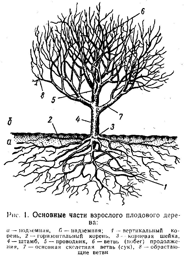 Основные части взрослого плодового дерева