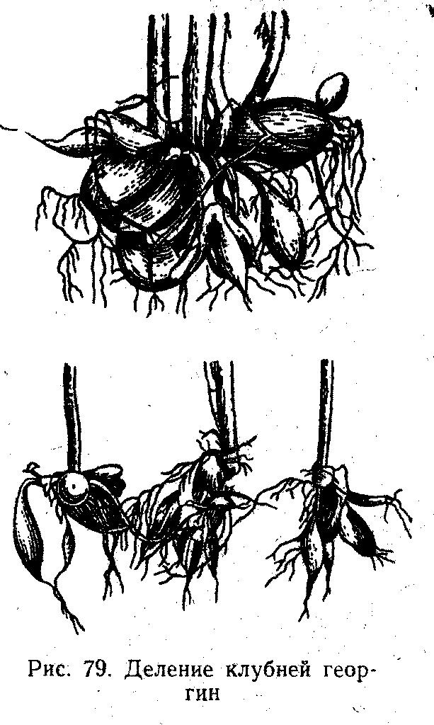 Деление клубней георгии
