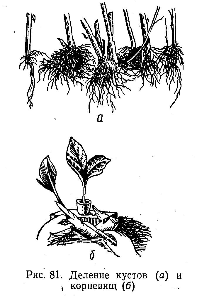 Деление кустов и корневищ