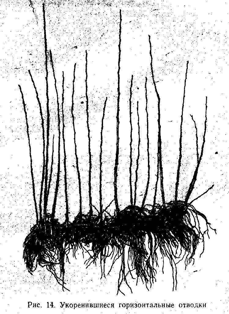 Укоренившиеся горизонтальные отводки