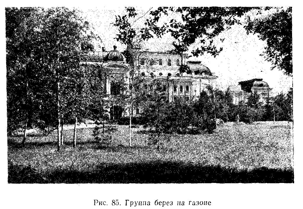 Группа берез на газоне