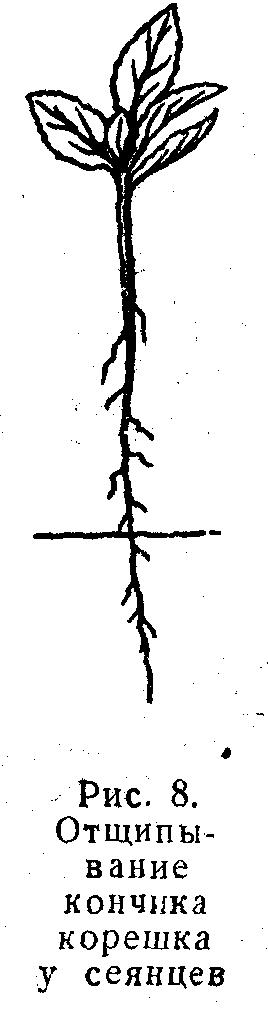 Отчипывание кончика корешка у сеянцев