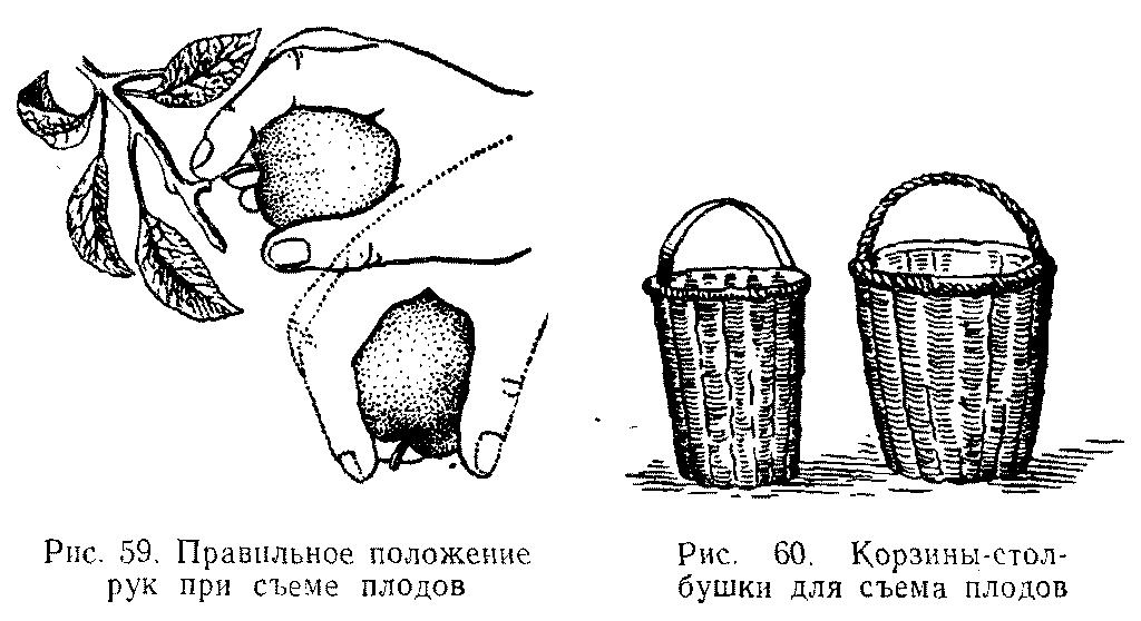 Корзины столбушки для съема плодов, правильное положение рук при сборе плодов