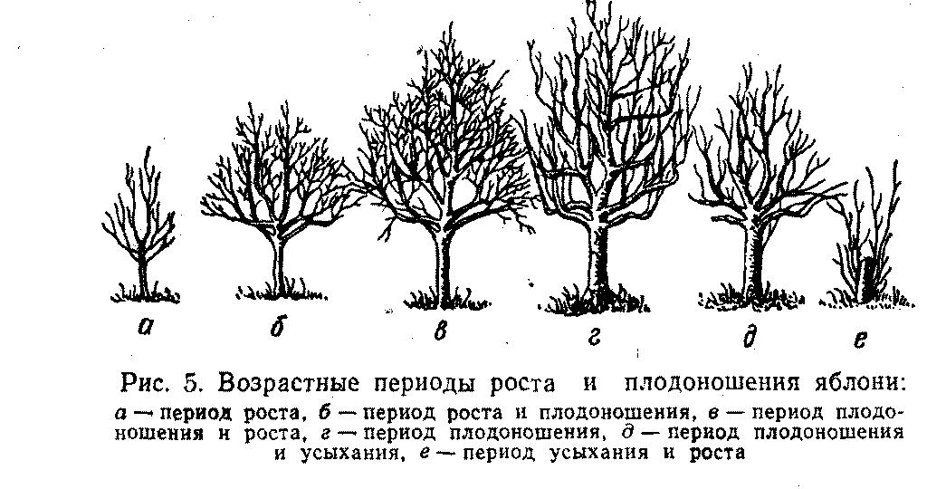 Периоды роста и плодоношения яблони