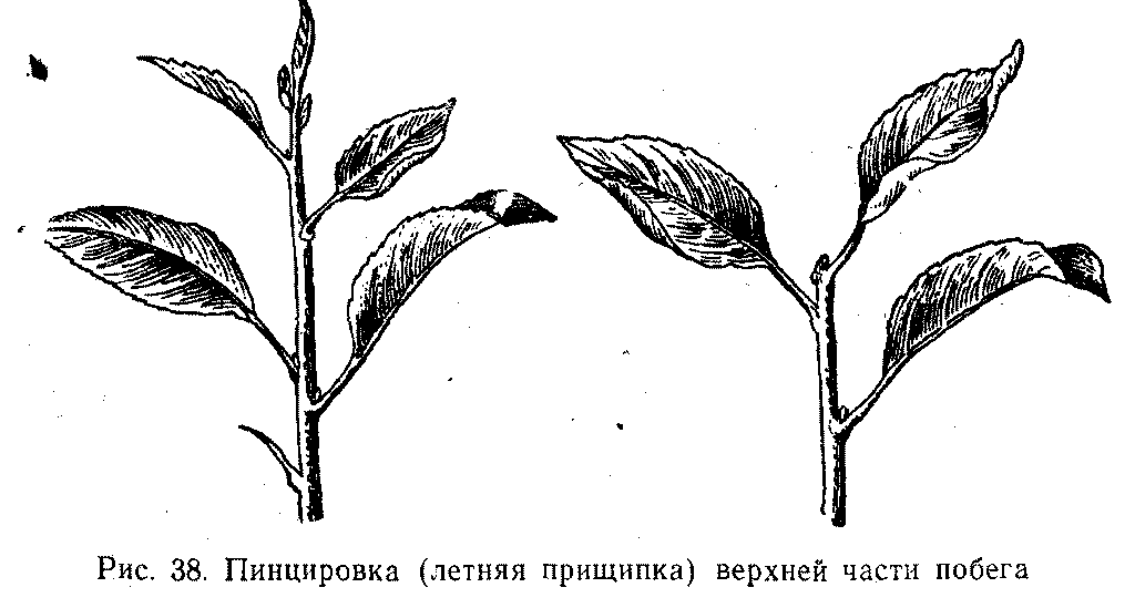 Пинцировка (летняя прищипка) верхней части побега