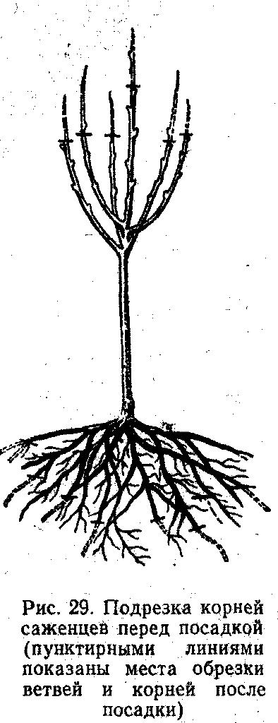 Подрезка корней саженцев
