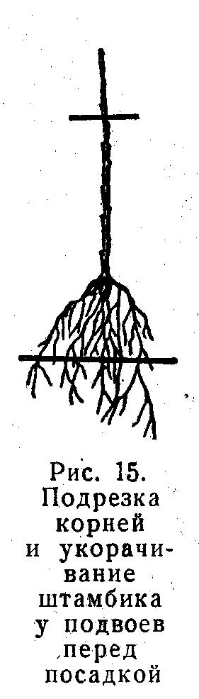 podrezka-korney