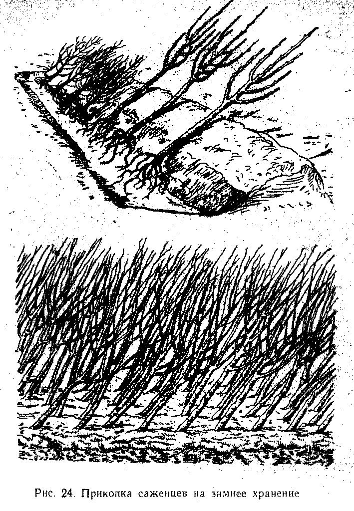 Прикопка саженцев на зимнее хранение