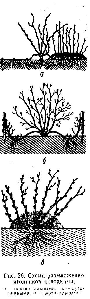 Размножение ягодников отводками