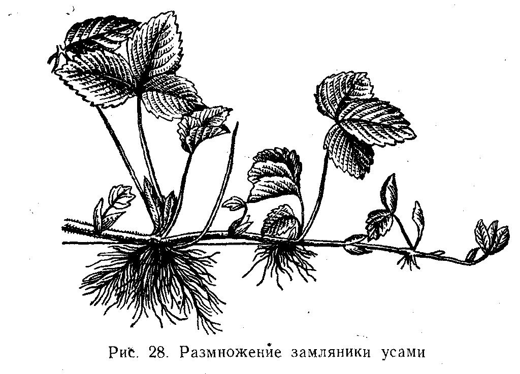 Размножение земляники усами