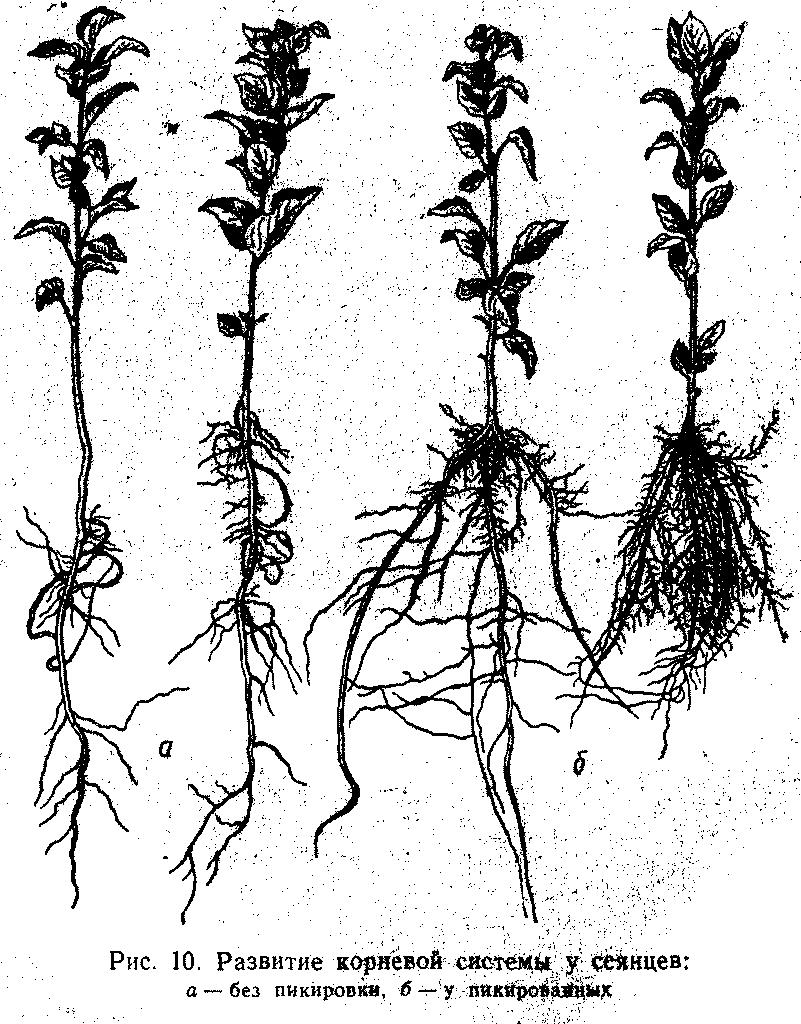 Развитие коневой системы у сеянца