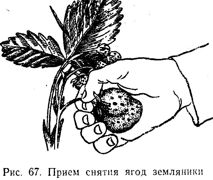 Прием снятия ягод земляникик