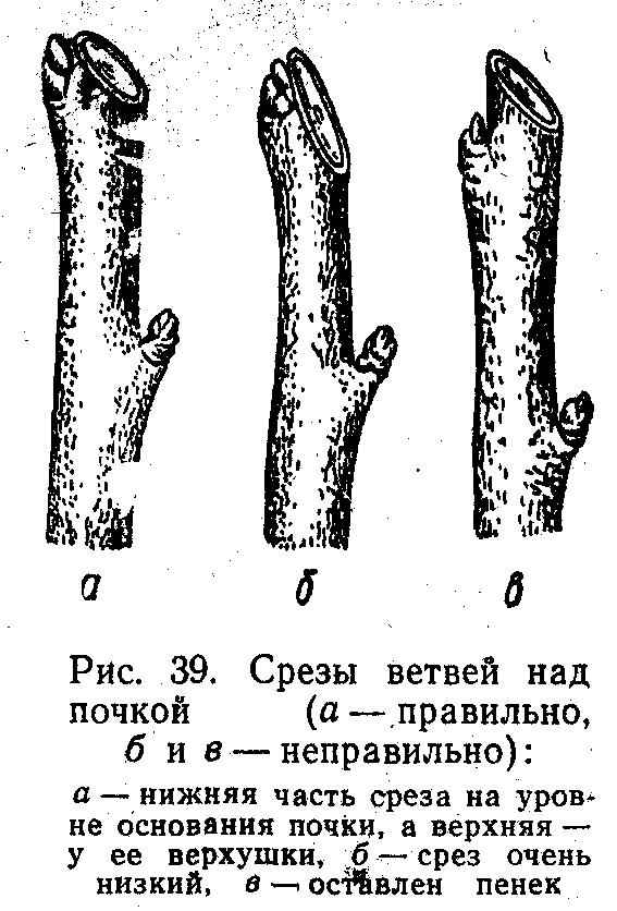 Срезы ветвей над почкой