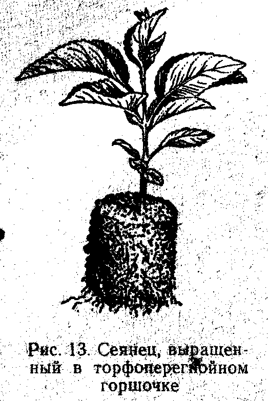Сеянец выращенный в торфяном горшочке