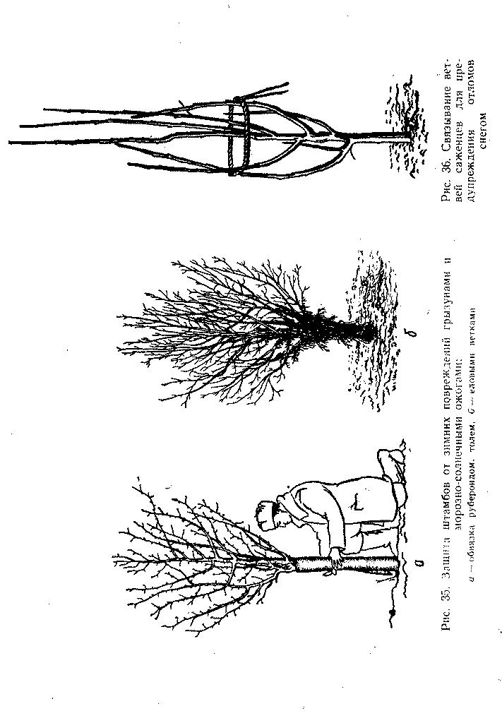 Защита штамба от зимних повреждений грызунами